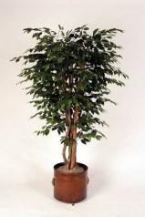 Ficus Tree