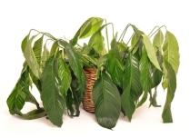 wiltedplant