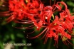 red-spider-lily (3)