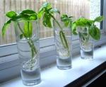 growing-basil-basil